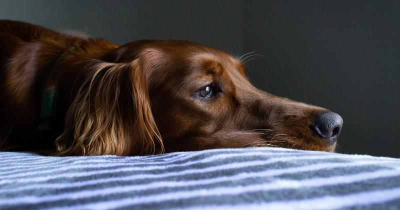 Saiba Tudo Sobre a Trombocitopenia Imunomediada em Cães e Gatos