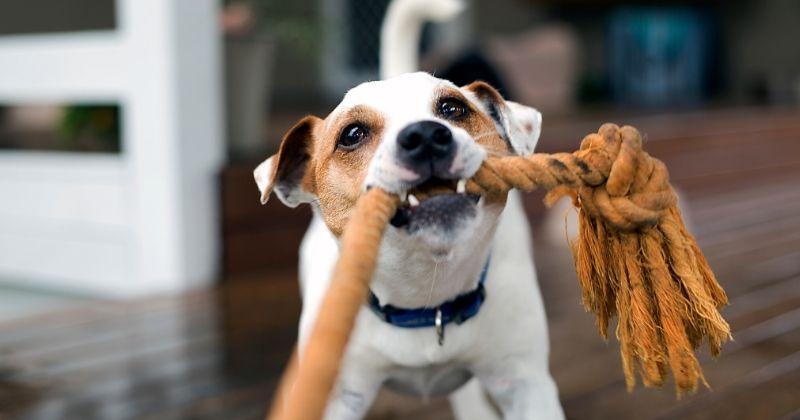 Brincadeiras para Cachorro: Saiba Como Gastar a Energia do Seu Aumigo!
