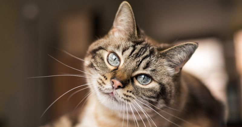 Peritonite Infecciosa Felina: O Coronavírus Dos Gatos