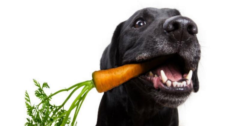 Benefícios da Cenoura para os Cães