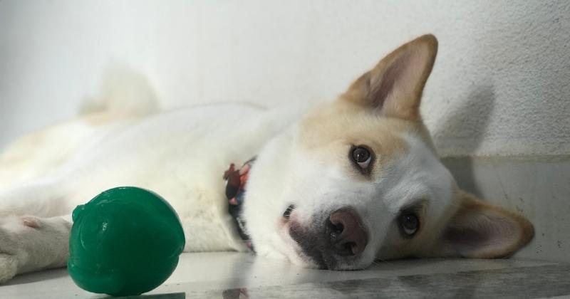 Entenda Porquê a Quarentena Pode Causar Ansiedade em Pets