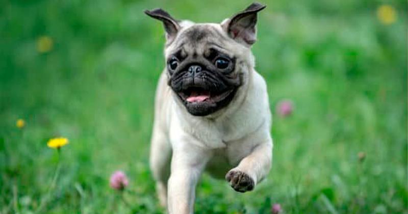 Síndrome e Cuidados com Cães Braquicefálicos