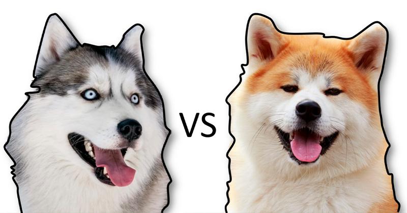Diferenças Entre um Husky Siberiano e Akita Inu