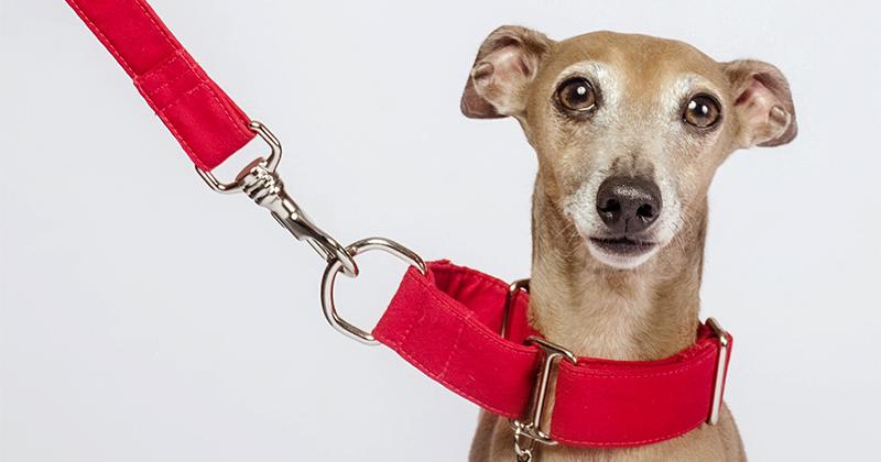 Coleira Martingale: As 10 Perguntas Mais Comuns Entre Donos de Cachorro