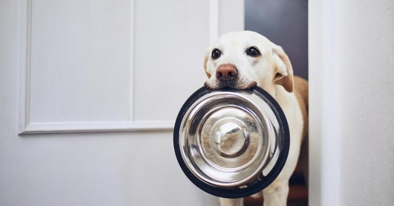 Como Fazer a Transição de Alimentos Para o Seu Cão?