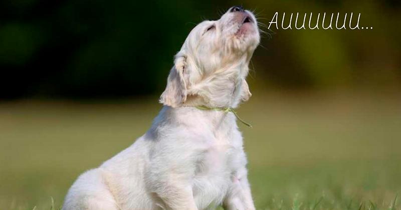 Descubra Por Qual Razão Seu Cachorro Uiva