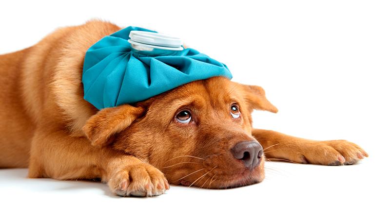 Traqueobronquite Infecciosa Canina: A Tosse Dos Canis