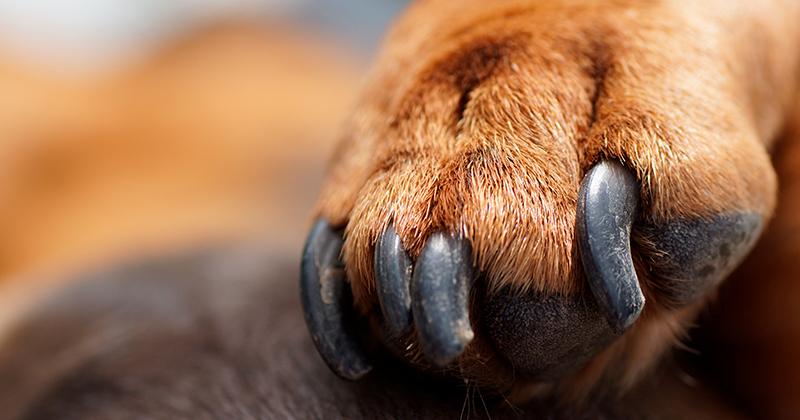 Devo Cortar as Unhas dos Meus Cães?
