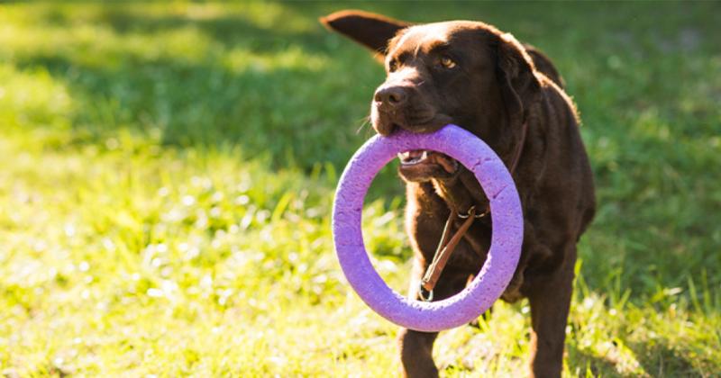 Por Que os Cães Nos Trazem Seus Brinquedos?