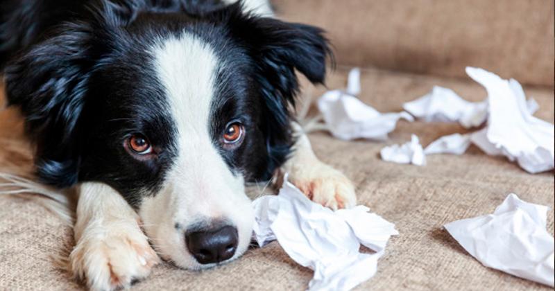 Seu Cachorro Come Papel Higiênico? Entenda o Porquê.