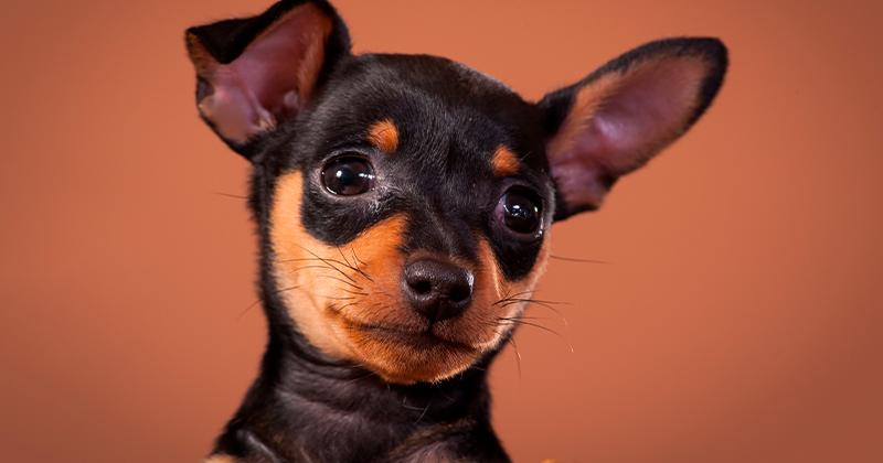Pinscher: Saiba Tudo Sobre Essa Raça de Cachorro