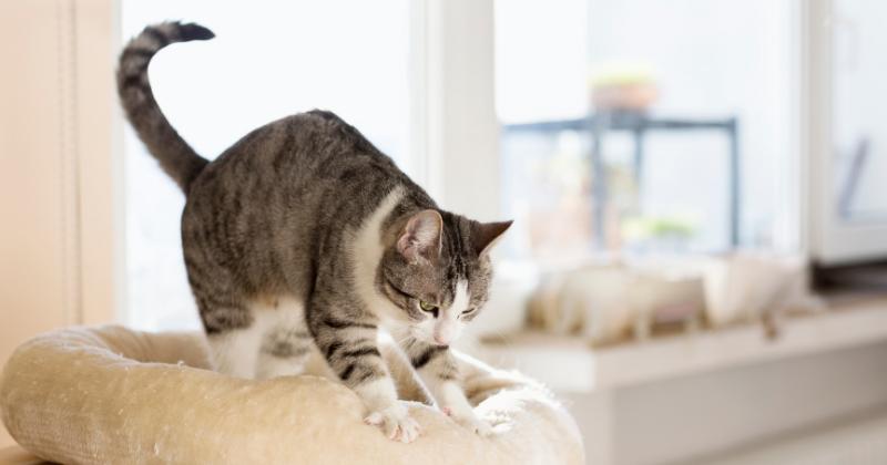 """Conheça o Real Motivo dos Gatos """"Amassarem Pãozinho"""""""