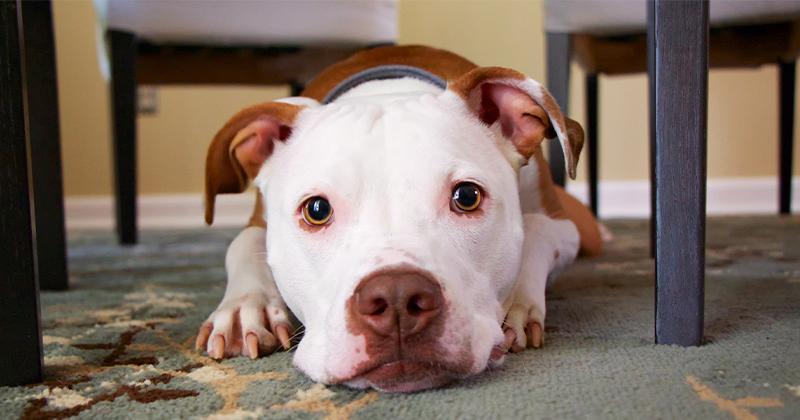Pitbull: Saiba Tudo Sobre Essa Raça de Cachorro