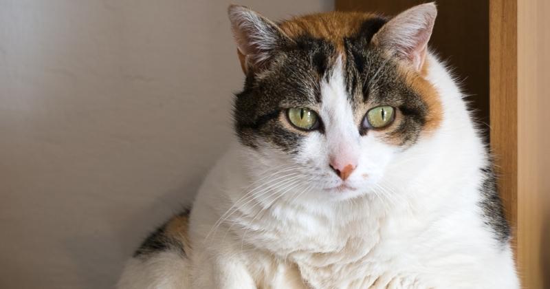 Como a Obesidade Pode Afetar o Comportamento do seu Gatinho
