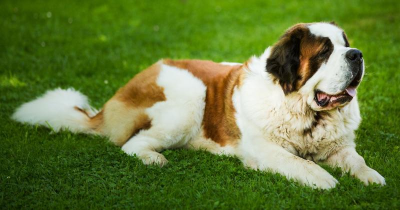 São Bernardo: Saiba Tudo Sobre Essa Raça de Cachorro