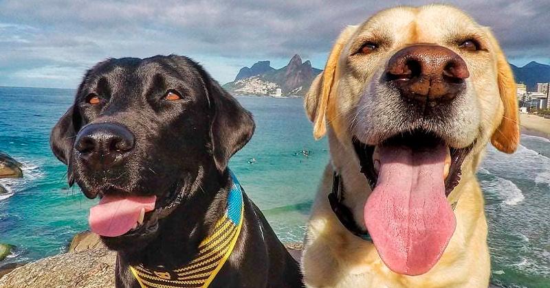Papo Pet: Polo e Mika – os Labradores que Conquistaram a Internet