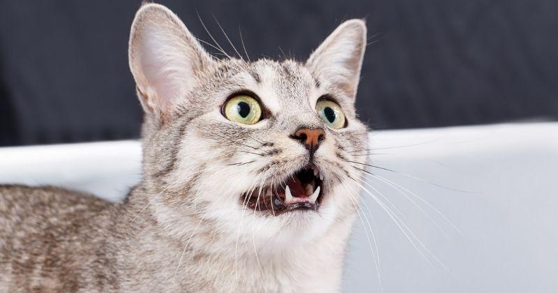 Meu gato mia muito. Por que isso acontece?
