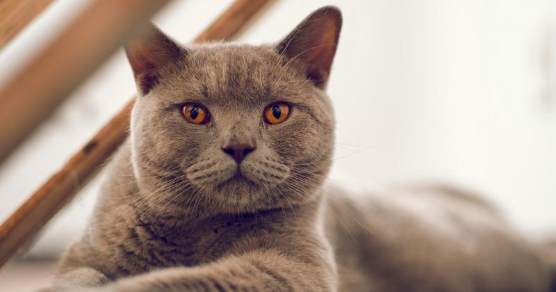 British Shorthair: saiba tudo sobre essa raça de gato