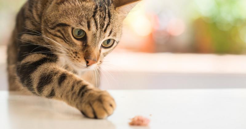 """3 motivos que fazem os gatos """"enterrarem"""" a comida"""