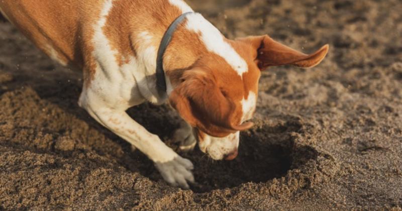 Cachorro cavando o chão: entenda por que isso acontece