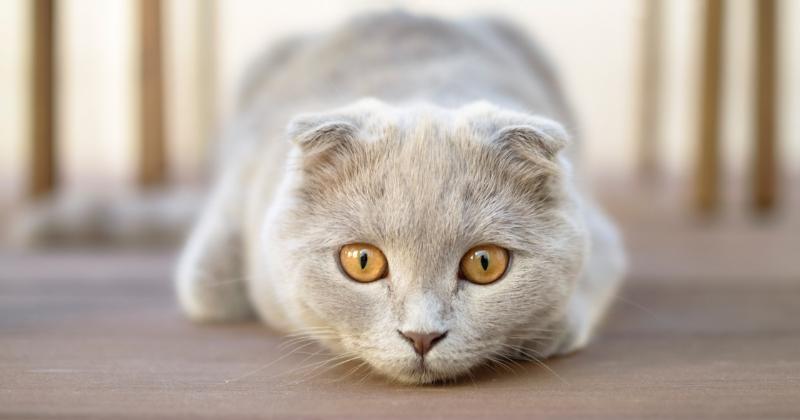 Scottish Fold: saiba tudo sobre essa raça de gato