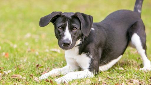 Curiosidades sobre o corpo dos cães