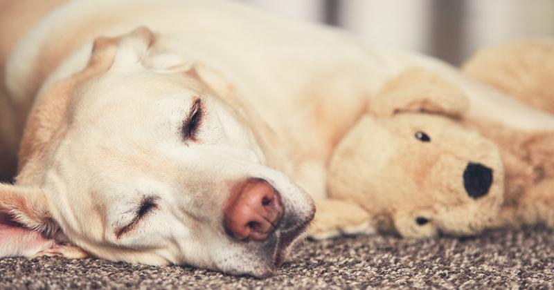 Gravidez psicológica em cães: como funciona?