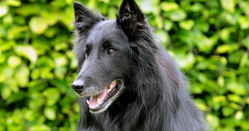 Pastor Belga: saiba tudo sobre essa raça de cachorro